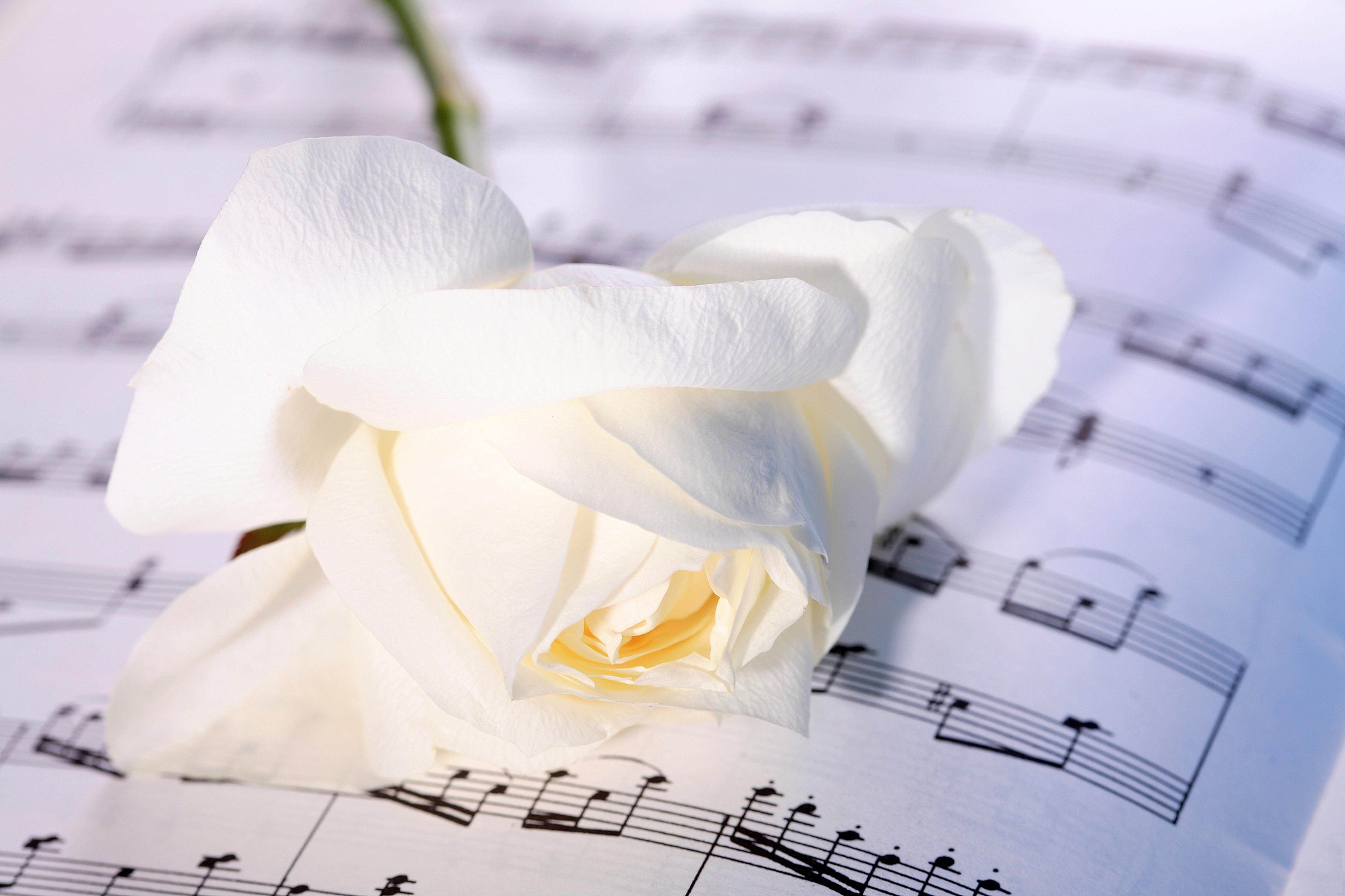 Roses_Closeup_White_457378